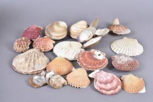 A collection of clams and bi-valve molluscs, including Gari Maxima, Pecten Sericeus, Chama Venosa on