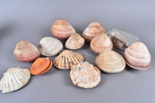 An assortment of Bi-Valve shells, including Pecten Maximus (Great Scallop), Merceanria Campechiensis