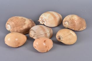 Volutidae/Volute Family, a selection of seven shells from the Volute family, including Cymbium
