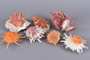 Spondylidae Family, a selection of Spiny Oysters, comprising different species, including