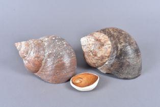 Turbo Jourdani, Jourdan's Turban, a large example (19cm) found off Streaky Bay, Australia, 1988,
