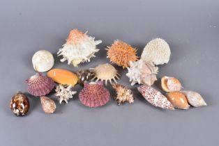 An assortment of various shells, including Cypraea Contraria Iredale, Amoria Undulata, Spondylus