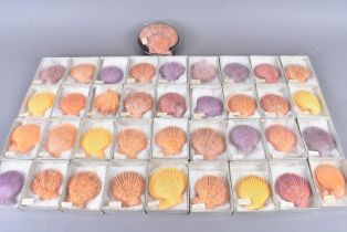 Pecten Noblis, Noble Scallop, a collection of 37 specimens, obtained by Shingu Habu in 1989, with