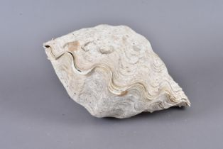 Tridacna Gigantea, Giant Clan, member of the Clam Genus Tridacna, the complete shell, one half