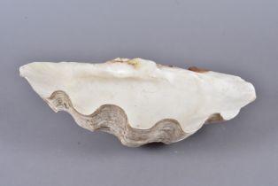 Tridacna Gigantea, Giant Clan, member of the Clam Genus Tridacna, half shell, 35cm long, 20cm wide