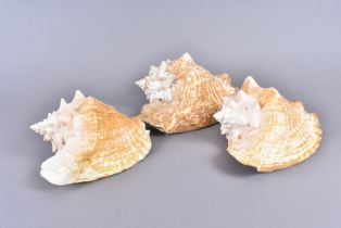 Aliger Gigas/Strombus Gigas, also known as Lobatus Gigas, or most commonly Queen/Pink Conch, from