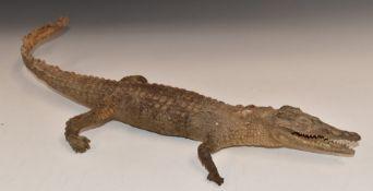 Taxidermy study of a crocodile / caiman, L49cm