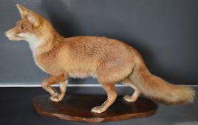 Taxidermy study of a fox mounted on a shaped mahogany plinth, the taxidermist probably C J Elliot,