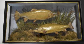 Victorian taxidermy study of two trout, in glazed case with gilt lettering 'Trout - Caught by W S