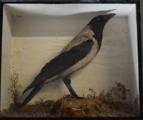 Taxidermy study of a hooded crow, in glazed case, W48 x D20 x H40cm