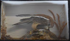 Victorian taxidermy study of a kestrel with prey in glazed case, W45 x D17 x H28cm, shot on the