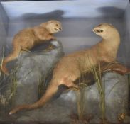 Taxidermy study of twootters with fish in naturalistic surroundings, in glazed case, W93 x D27 x