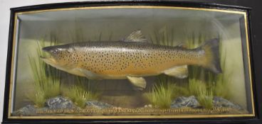 Taxidermy study of a brown trout in a glazed bow fronted case with gilt script '6lbs-9oz Wild