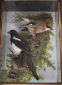 Taxidermy study of a magpie and a jay, in a glazed wooden case, the taxidermist probably C J Elliot,