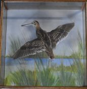 Taxidermy study of a snipe in flight, in a glazed wood case, W 44 x D13.5 x H44cm, with suspension