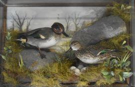 Taxidermy study of a pair of teal on a nest, in glazed case, taxidermist Tony Armistead, W62 x D18 x