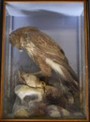 Late 19th/20thC taxidermy study of a buzzard with prey in naturalistic setting within a glazed case,