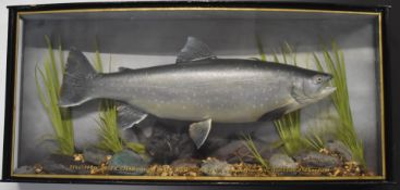 Taxidermy study of an Arctic char in glazed bow fronted case with gilt script '8lbs-14oz. Arctic