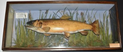 Taxidermy study of a browntrout in glazed case, label within 'Trout-Salmo-Trutta- Taken by A E