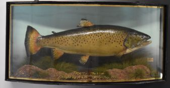 Taxidermy study of a brown trout in glazed bow fronted case, with gilt script 'Trout 6lb 15ozs