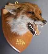 Taxidermy study of a fox mask with 'EDH Whimple 12-12-58' in gilt lettering to the oak plaque,