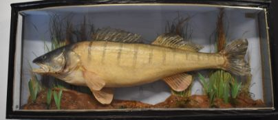 Taxidermy study of a zander in glazed bow fronted case, taxidermist Robert Stuart, Aldershot, W90