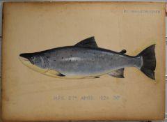 P.D Malloch Perth watercolour study of a Salmon, titled H.F.S, 38lb 27th April 1924 38lb, 29.5 x