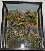 Taxidermy study of jays feeding chicks, in large glazed case, W65 x D30 x H77cm