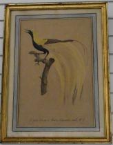 After Barraband etching No4 Le Petit Oiseau de Paradis Emeraude, male No4 bird on a branch, 53 x