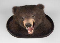 AN EARLY 20TH CENTURY TAXIDERMY BLACK BEAR HEAD UPON A LATER SHIELD (h 40cm x w 55cm x d 36.5cm)