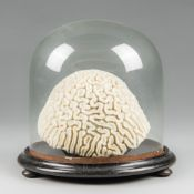 A 19TH CENTURY BRAIN CORAL UNDER A GLASS DOME WITH AN EBONISED BASE AND BUN FEET. (h 25.5cm x w 26.