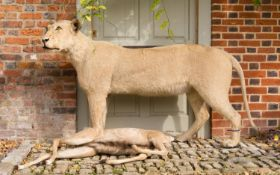 A LATE 20TH CENTURY TAXIDERMY STUDY OF A LIONESS WITH NYALA PREY. (h 107cm x w 195cm x d 55cm)