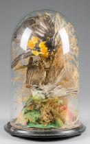A LATE 19TH CENTURY DOME OF TAXIDERMY TROPICAL BIRDS (h 40cm x w 26.5cm x d 26.5cm)