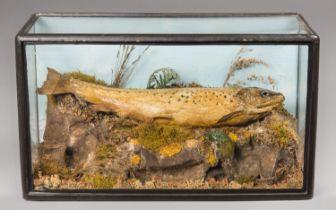 A 19TH CENTURY TAXIDERMY BROWN TROUT IN A GLAZED CASE (h 23cm x w 41cm x d 18cm)