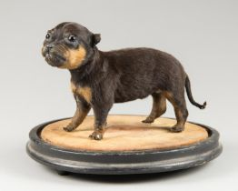 A LATE 20TH CENTURY TAXIDERMY PUPPY UPON A VICTORIAN DOME BASE. The puppy (h 15cm x w 21cm x d 8cm)