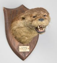 PETER SPICER & SONS, AN EARLY 20TH CENTURY TAXIDERMY OTTER MASK UPON AN OAK SHIELD. Inscription to