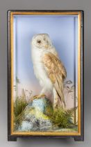 JAMES HUTCHINGS OF ABERYSTWYTH, A LATE 19TH CENTURY TAXIDERMY BARN OWL. Mounted upon faux rock