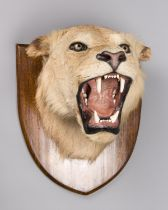 A LATE 19TH CENTURY TAXIDERMY LION HEAD UPON AN OAK SHIELD. Probably by Edward Gerrard & Sons. (h