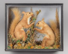 A LATE 19TH/EARLY 20TH CENTURY TAXIDERMY PAIR OF RED SQUIRRELS WITH CHESTNUTS. Original glazed front