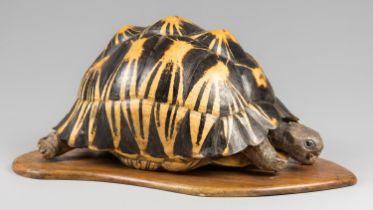 A LATE 19TH CENTURY TAXIDERMY RADIATED TORTOISE UPON AN OAK BASE (h 21cm x w 44cm x d 28cm)