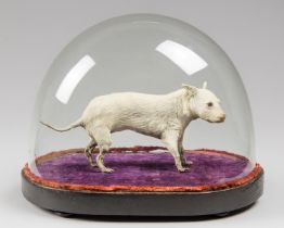 A LATE 19TH CENTURY TAXIDERMY MINIATURE DOG UNDER A GLASS DOME