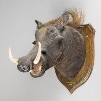 ROWLAND WARD, AN EARLY 20TH CENTURY TAXIDERMY WARTHOG HEAD UPON AN OAK SHIELD. The shield
