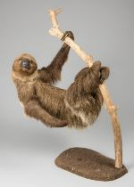 A LATE 20TH CENTURY TAXIDERMY HOFFMANN'S TWO-TOED SLOTH NATURALISTICALLY MOUNTED (h 74.5cm x w