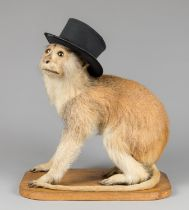 'WISHTITTY' THE EARLY 20TH CENTURY TAXIDERMY PERFORMING CIRCUS MONKEY. Provenance: Rescued by Claude