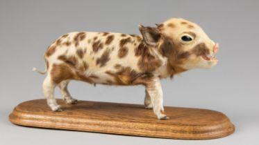 A CURIOUS 20TH CENTURY TAXIDERMY PIGLET MOUNTED UPON AN OAK BASE (h 16cm x w 35.5cm x d 15cm)