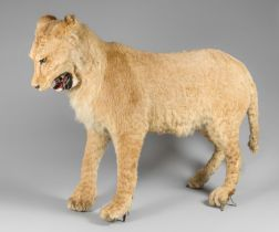 A LATE 19TH CENTURY TAXIDERMY FULL MOUNT LIONESS. Provenance: Previously from museum owner Robert