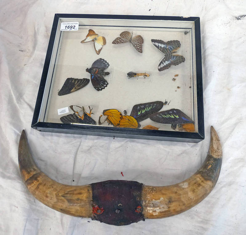 CASED ENTOMOLOGY DISPLAY AND A PAIR OF HORNS -2-