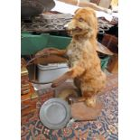TAXIDERMY FOX CHAMPAGNE HOLDER STUDY CONSISTING OF A FOX STANDING ON ITS HIND LEGS HOLDING A METAL