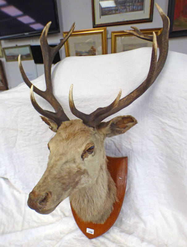 TAXIDERMY STAG'S HEAD WITH 12 POINT ANTLERS ON SHIELD