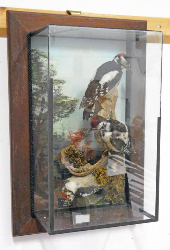 WALL MOUNTED CASED TAXIDERMY STUDY OF A FAMILY OF GREAT-SPOTTED WOOD PECKERS, CIRCA 1979,